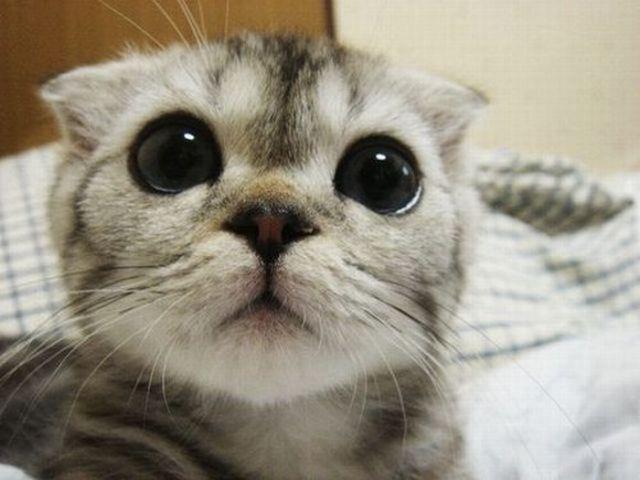 Generowanie mema: Slodki zaskoczony kot