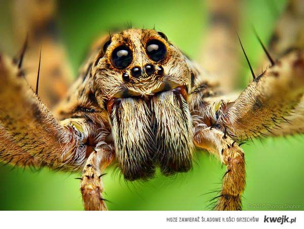 Kochajmy pajączki!