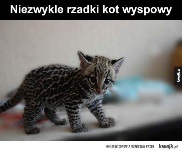 Kot wyspowy
