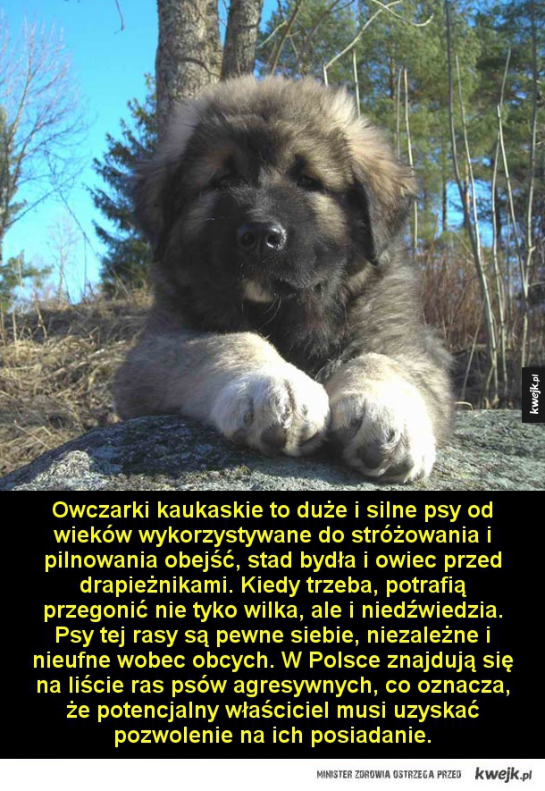 Olbrzym z Kaukazu - Owczarki kaukaskie to duże i silne psy od wieków wykorzystywane do stróżowania i pilnowania obejść, stad bydła i owiec przed drapieżnikami. Kiedy trzeba, potrafią przegonić nie tyko wilka, ale i niedźwiedzia. Psy tej rasy są pewne siebie, niezależne i nieu