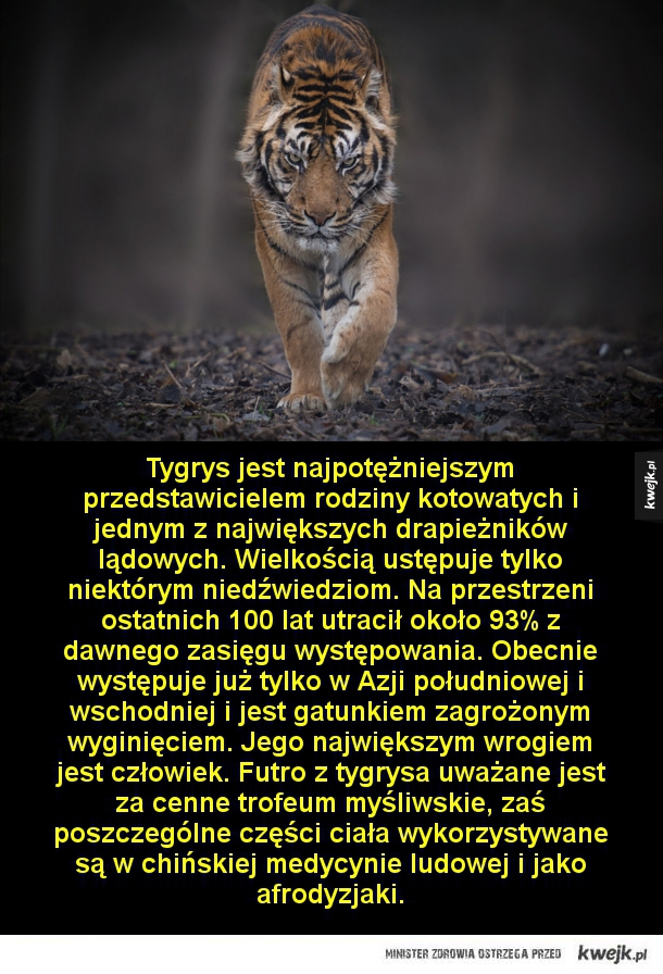 Drapieżnik doskonały - Tygrys jest najpotężniejszym przedstawicielem rodziny kotowatych i jednym z największych drapieżników lądowych. Wielkością ustępuje tylko niektórym niedźwiedziom. Na przestrzeni ostatnich 100 lat utracił około 93% z dawnego zasięgu występowania. Obecnie wy