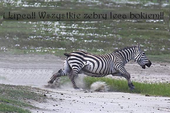 wszystkie zebry lecą bokiem