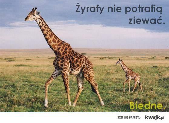żyrafy nie ziewają!