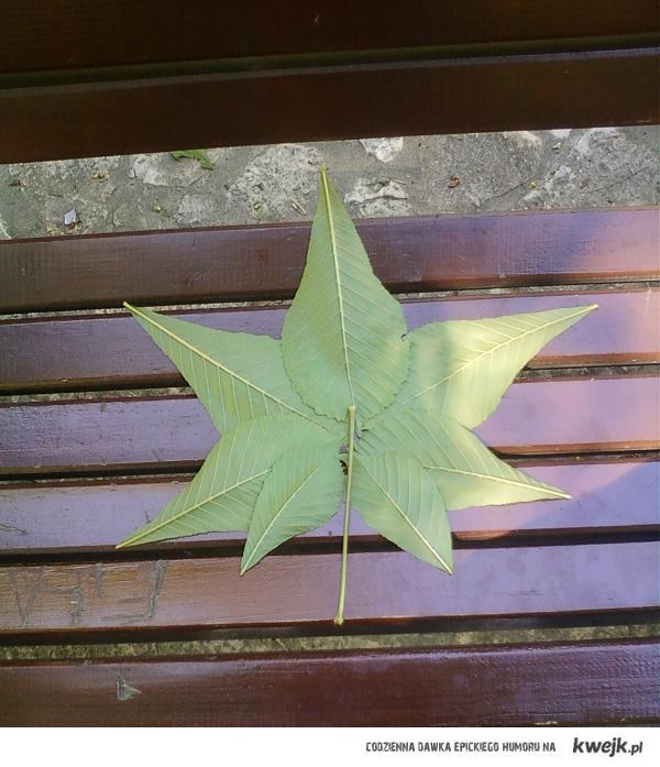 liście kasztanowca :]