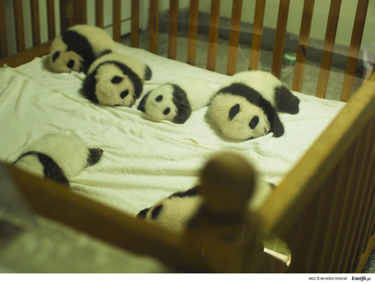 male pandy