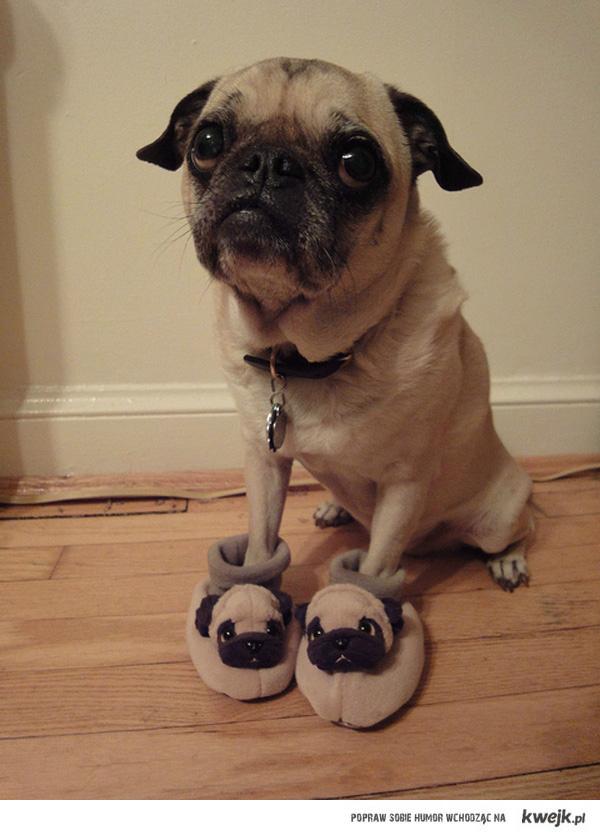 A pug in pug