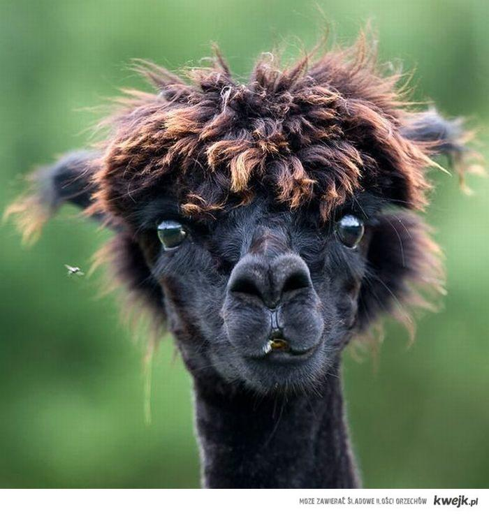 Lama Marcin szuka fryzjera