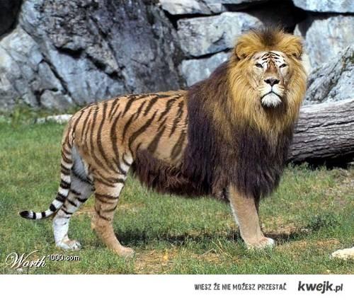 tygryso-lew