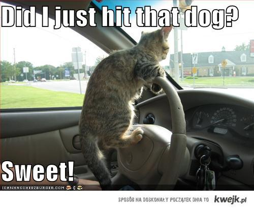 Kot kierowca