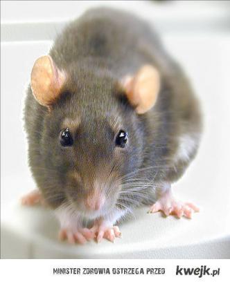 Szczurek ^^