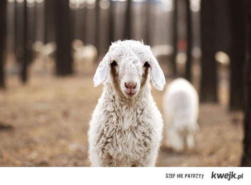 Owca-LOL