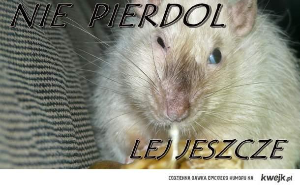 szczurekd