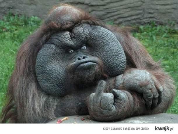 orangutanek