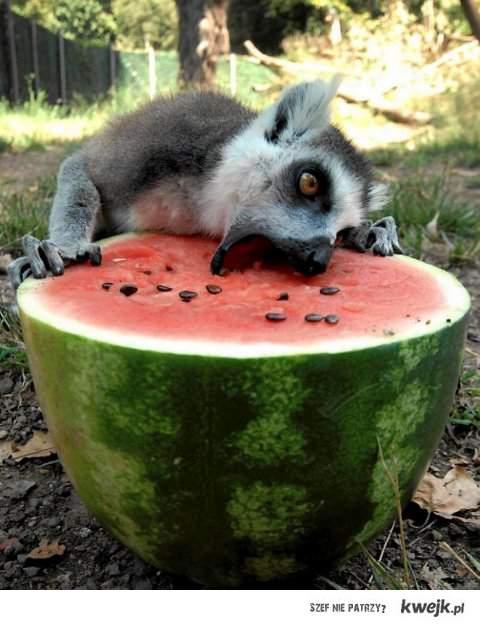 Lemurek i arbuzek
