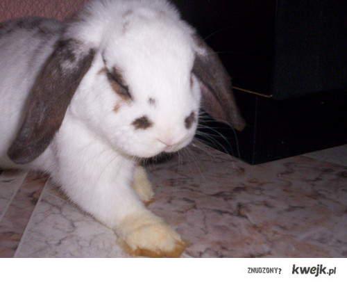 Ten króliczek jest sławny !