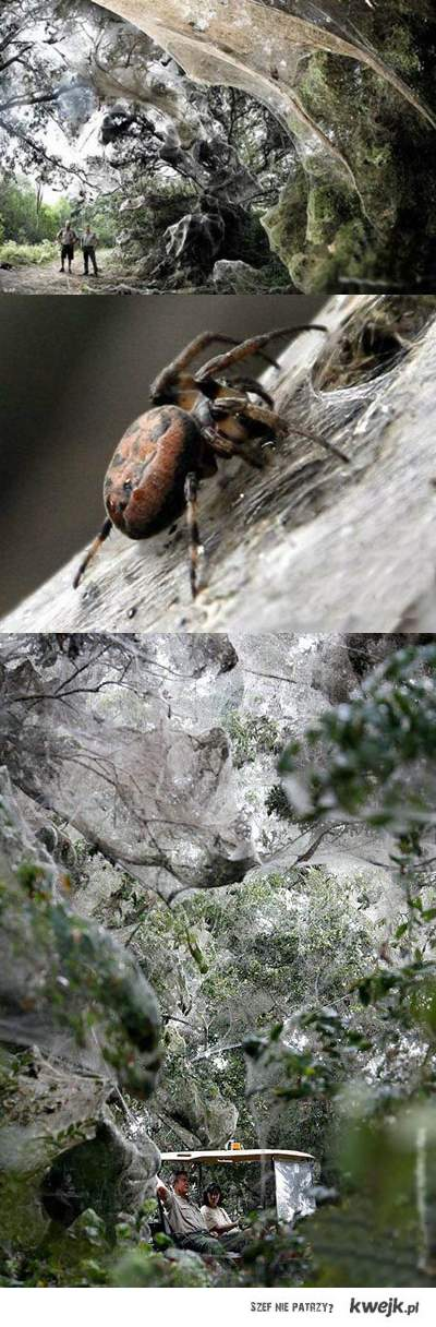 spider :*