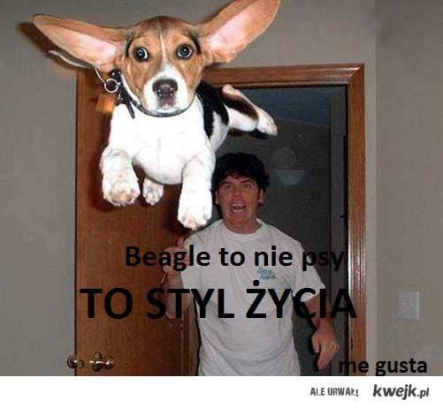 Beagle, Ruda <3