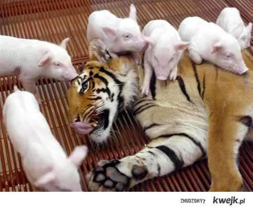 tygrys i prosiaki