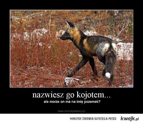 Kojot Pszemek