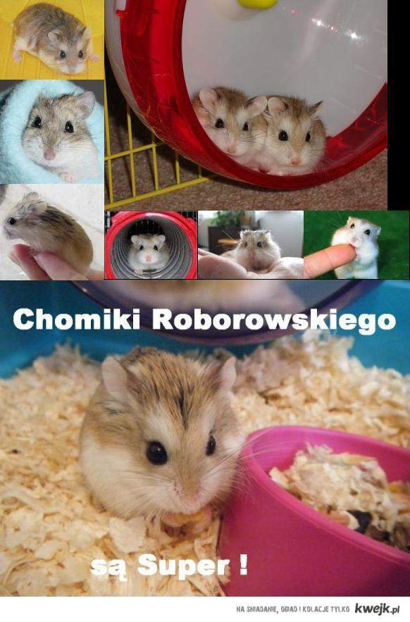 Chomiki Roborowskiego