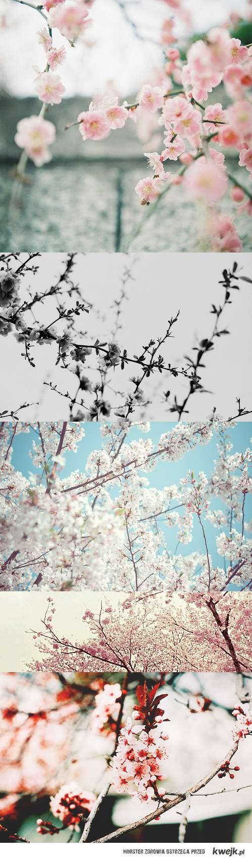 kwiaty wiśni - sakura love