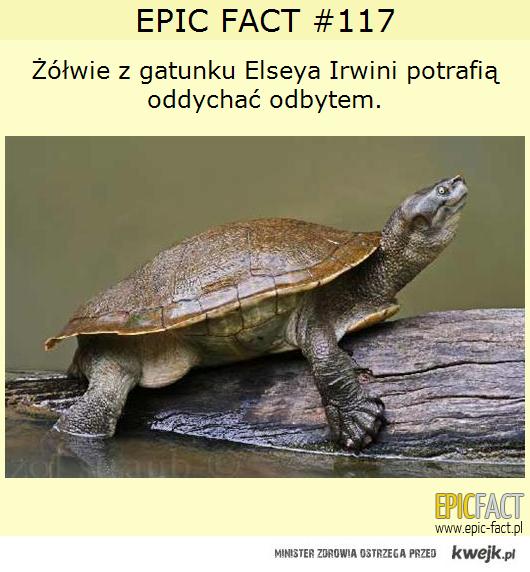 Żółwie oddychające odbytem