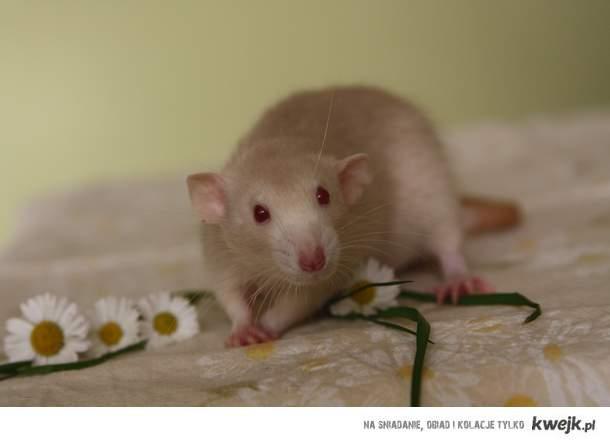 Szczurki <3.