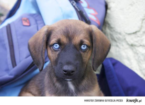 Niebieskooki bez ps