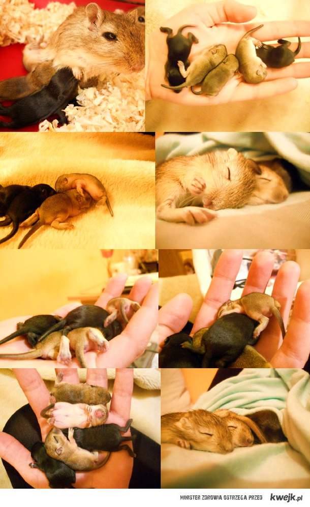 Małe myszoskoczki <3