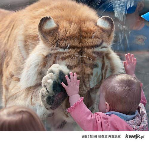 dziecko z tygrysem