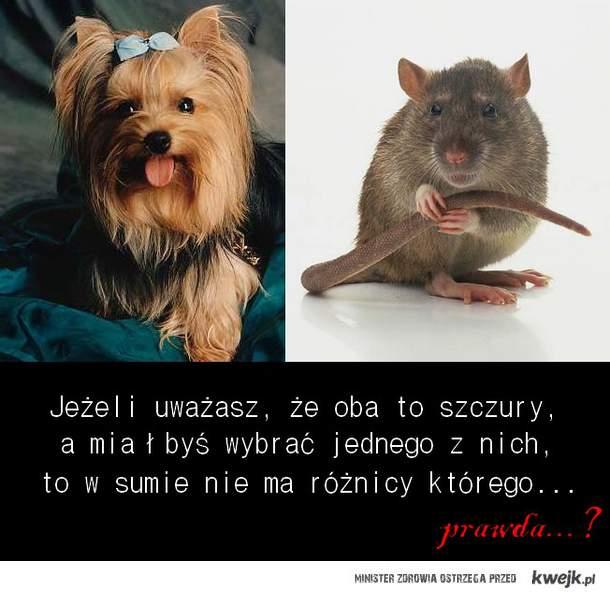 którego 'szczura' byś wybrał...?