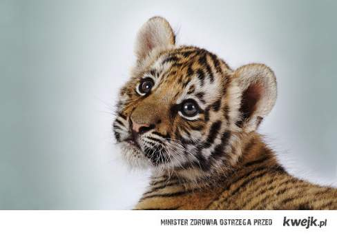 tygrysek <3