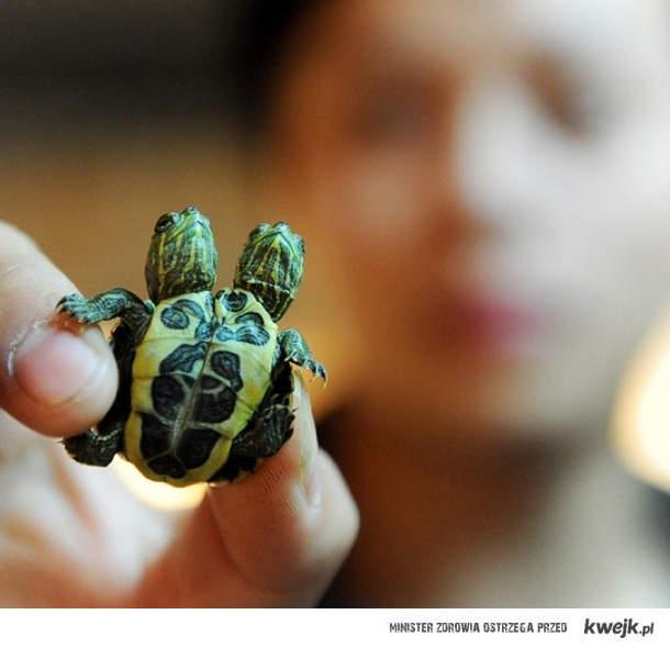 Żółwie syjamskie