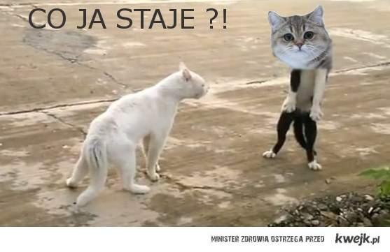 Stojący Kotecek