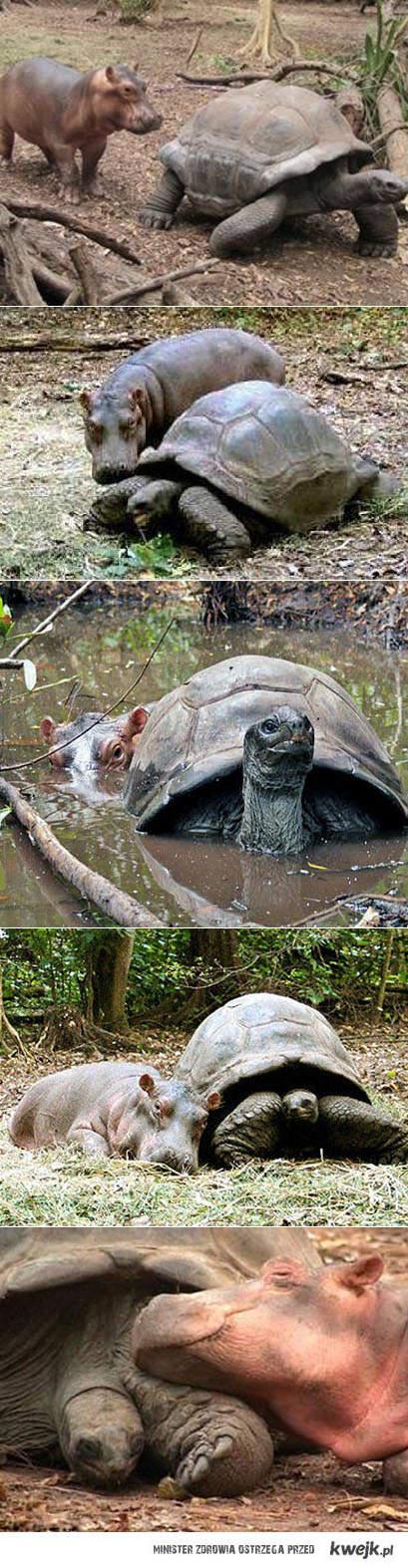 żółw i hipopotam