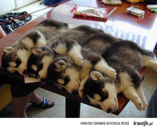 śpiące pieski