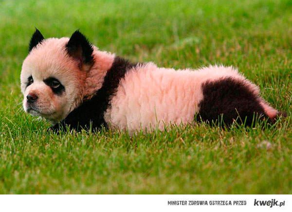 Cho chow panda .