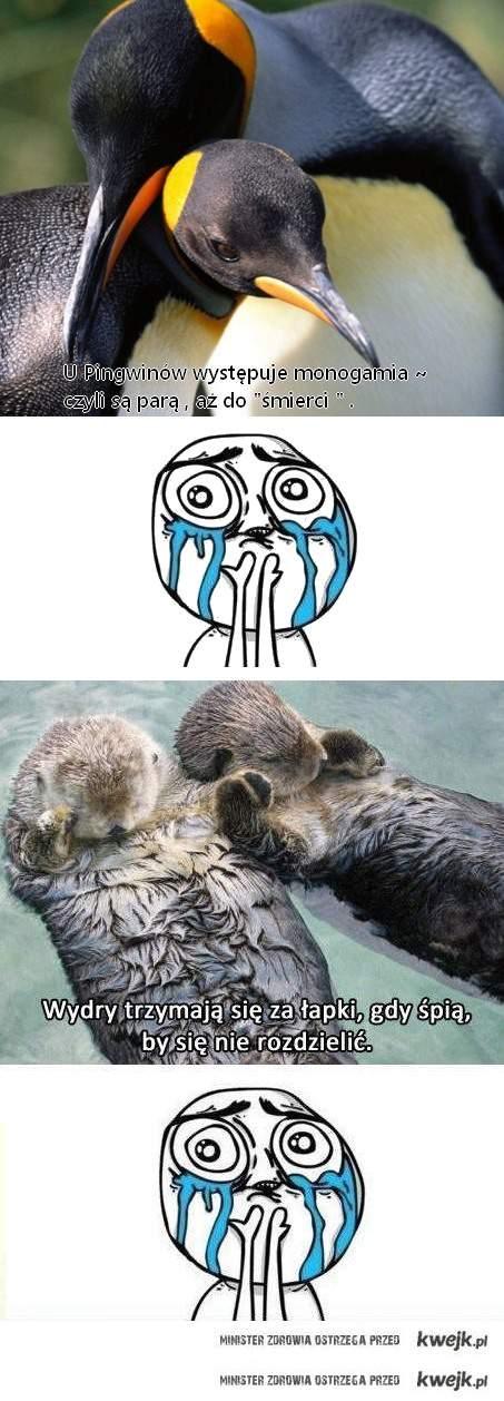 pingwinki i wydry . : 3