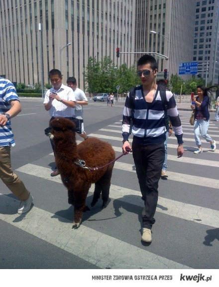 Lama na spacerze