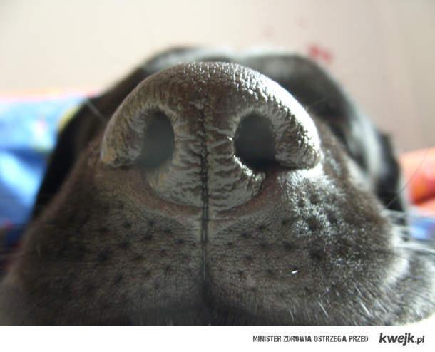 pieskowy noseeek