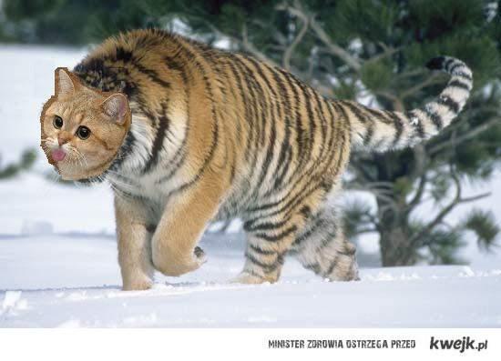 tygrys-o-japacz