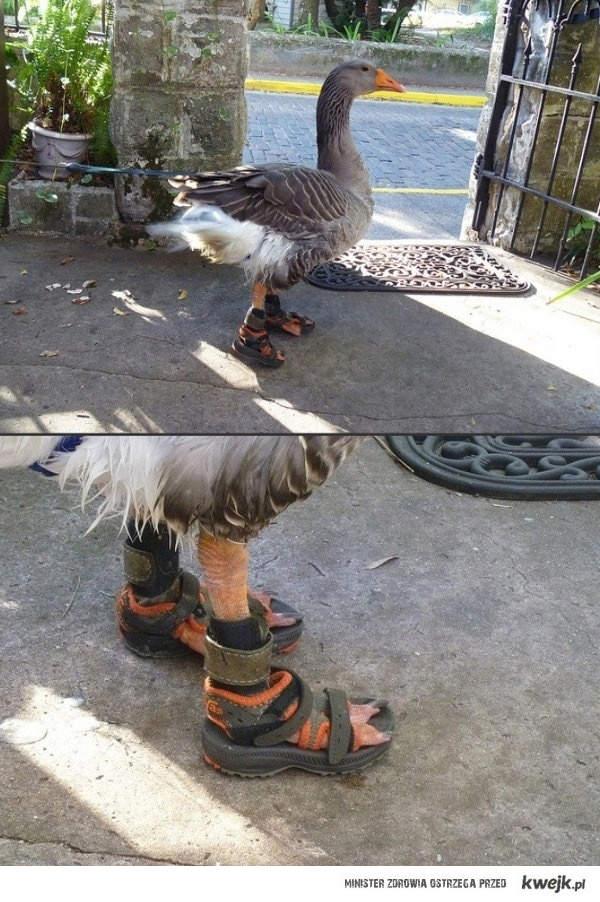 Gęś w sandałach