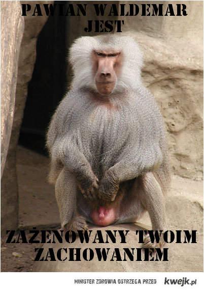 Pawian Waldemar jest zażenowany ...