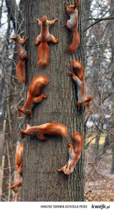 zmasowany atak wiewiórek