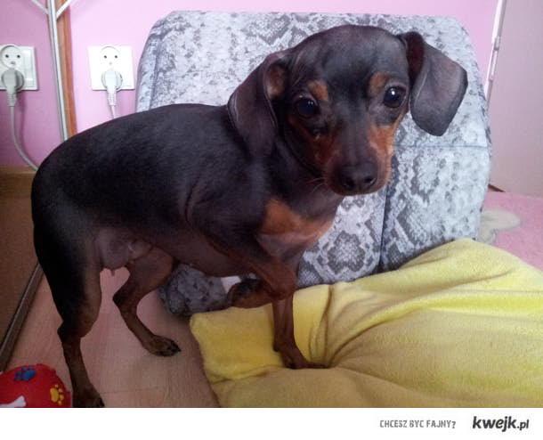 Takiego psa drugiego to nikt nie zobaczy :) Tila ma debila xD