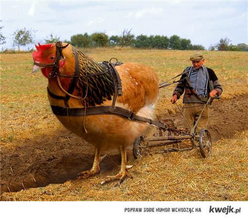 Nie wiem o co chodzi, więc wstawiam zdjęcie rolnika orającego pole kogutem