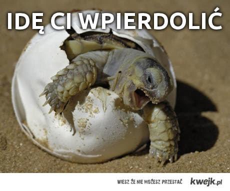 żółwik idzie
