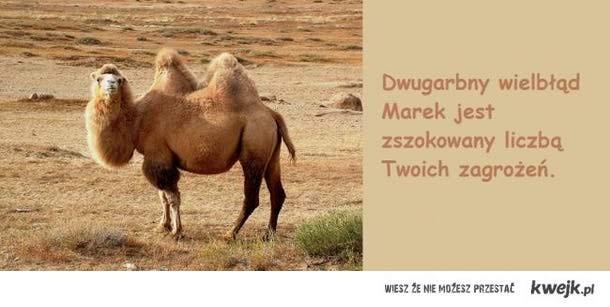 Dwugarbny wielbłąd