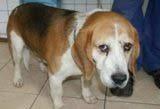 Smutny pies Beagle czeka na swój dom - 510-381-803