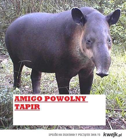 amigo powolny tapir